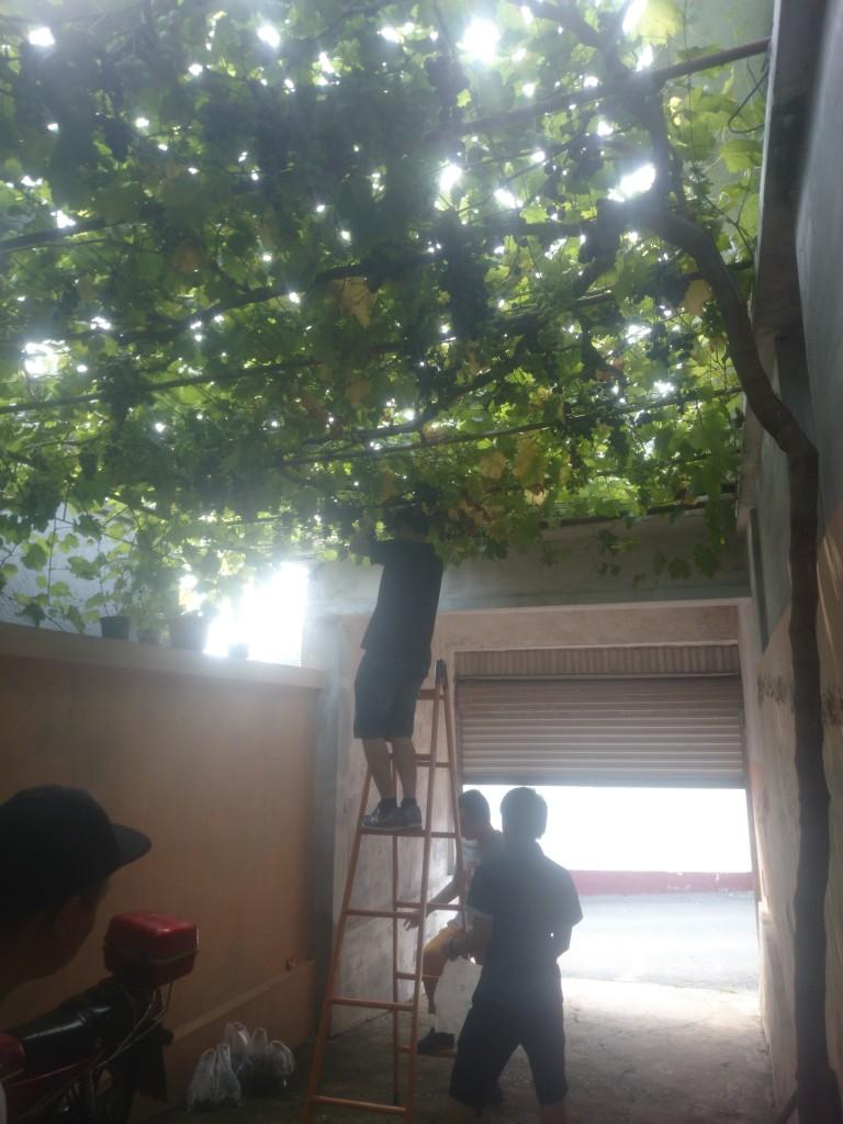 大叔家的葡萄都舍得不给邻居吃的,一定要让我们带给蚂蚁们一些。亲手摘的,果然好甜啊