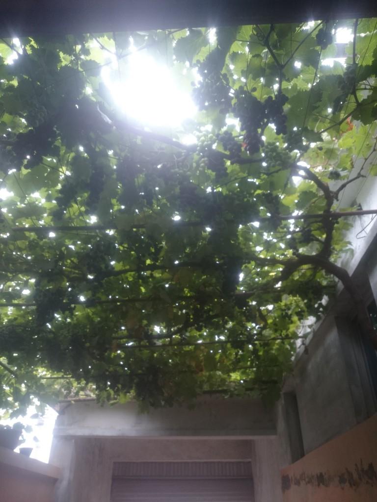 转眼大叔家的葡萄就这么大了,知了们声音越来越小,不知不觉夏天貌似也要结束了。