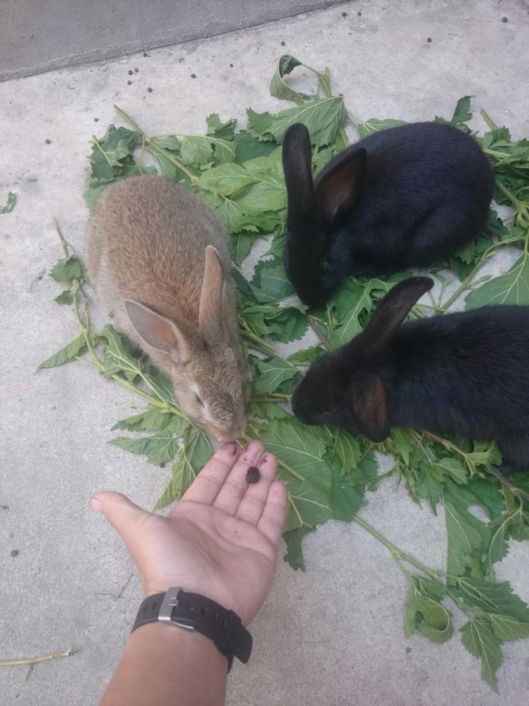 小兔几们越来越肥了,这都是我朋友,已经很熟了,左一是小灰,左二和左三分别是小黑和小黑。