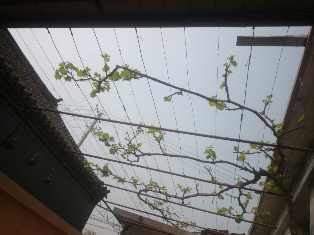 5月马上就要开始了,大叔家的葡萄树开始努力张芽,夏天可能要到了,我们要加油!